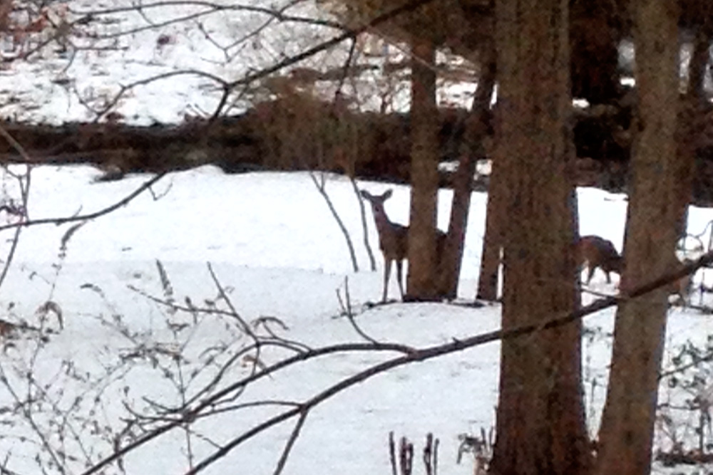 Stupid iphone. I wonder if that Samsung Ellen and Bradley Cooper used would have had a better zoom and resolution of these deer.